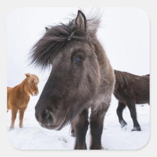 Icelandic Horse portrait, Iceland Square Sticker