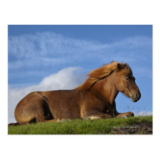 Icelandic horse resting and sky postcard