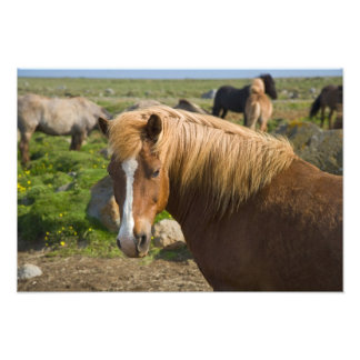 Icelandic Horses in northeastern Iceland. Photographic Print