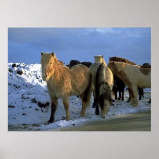 Icelandic Horses in Winter Poster
