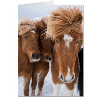 Icelandic Horses nuzzle, Iceland Card