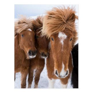 Icelandic Horses nuzzle, Iceland Postcard