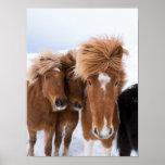 Icelandic Horses nuzzle, Iceland Poster