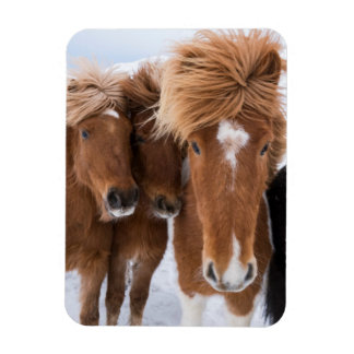 Icelandic Horses nuzzle, Iceland Rectangular Photo Magnet