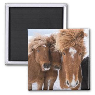 Icelandic Horses nuzzle, Iceland Square Magnet