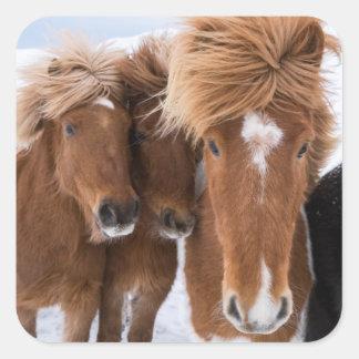 Icelandic Horses nuzzle, Iceland Square Sticker