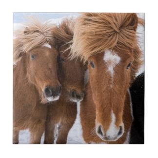 Icelandic Horses nuzzle, Iceland Tile
