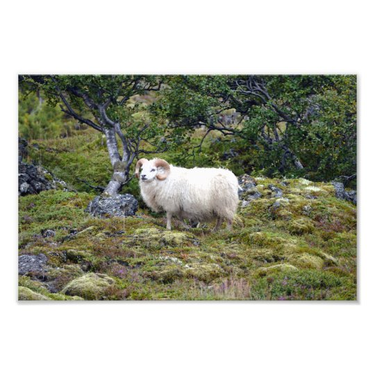 Icelandic Ram Art Photo Print
