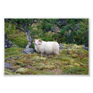 Icelandic Ram Photo Print