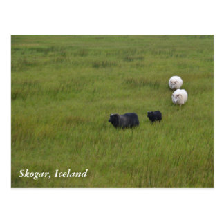 Icelandic Sheep Postcard