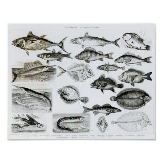 Ichthyology Osseous Fishes Poster