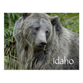 Idaho grizzly bear postcard