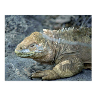 Iguana, Galapagos Islands Postcard