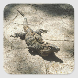 Iguana , Giant Lizard in Mexico Square Sticker