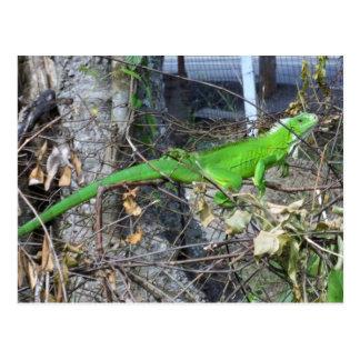 Iguana Sunbathing in La Romain, South Trinidad Postcard