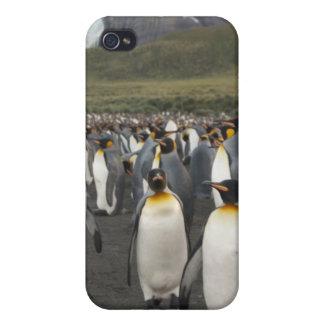 Île du sud de la Géorgie, port d'or. Pingouin de r Coques iPhone 4