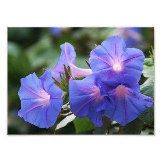 Illuminated Blue Morning Glory Wildflowers Photo Art