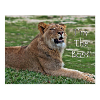 I'm the Boss Lion postcard