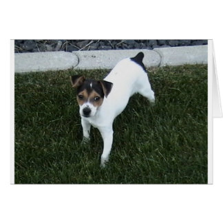 IMG_1349.JPG Adorable Jack Russell puppy dog Card