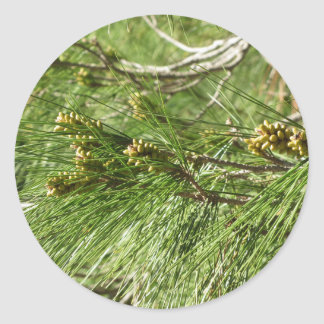 Immature male or pollen cones of pine tree classic round sticker