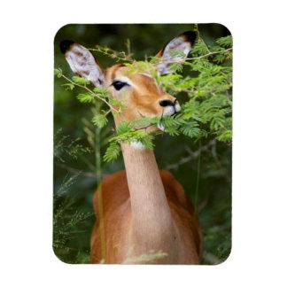 Impala (Aepyceros Malampus) Magnet