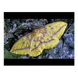 Imperial Moth postcard. Postcard
