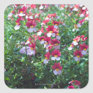 In rare colors bred horned violets in square sticker
