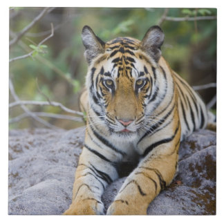 India, Bandhavgarh National Park, tiger cub Tiles