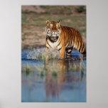 India, Bengal Tiger (Panthera Tigris) 3 Poster