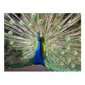 India Blue Peacock Postcard