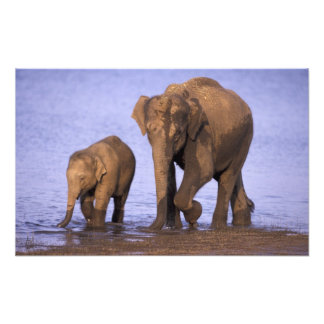 India, Nagarhole National Park. Asian elephant Photo Print