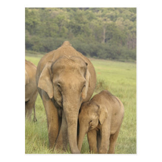 Indian / Asian Elephant and young one,Corbett Postcard
