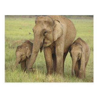Indian / Asian Elephant and young ones,Corbett Postcard