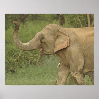 Indian / Asian Elephant communicating,Corbett 2 Poster