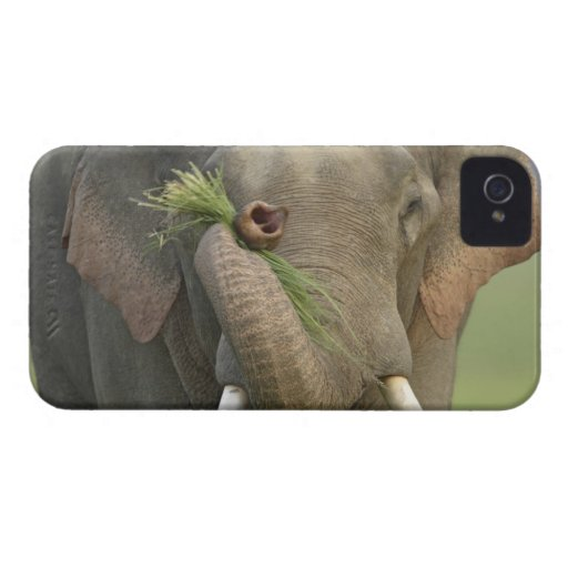Indian / Asian Elephant displaying food,Corbett 2 Blackberry Bold Cases