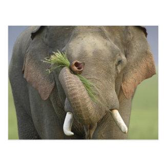 Indian / Asian Elephant displaying food,Corbett 2 Postcard