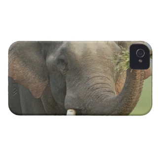 Indian / Asian Elephant displaying food,Corbett Case-Mate iPhone 4 Cases