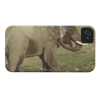 Indian / Asian Elephant spraying water,Corbett Case-Mate iPhone 4 Cases