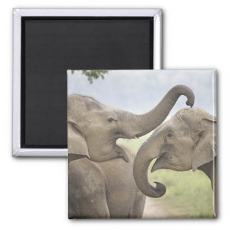 Indian / Asian Elephants play fighting,Corbett 3 Square Magnet