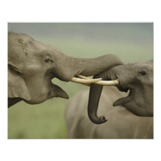 Indian / Asian Elephants play fighting,Corbett Poster
