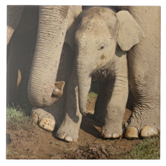 Indian Elephant calf,Corbett National Park, Tiles