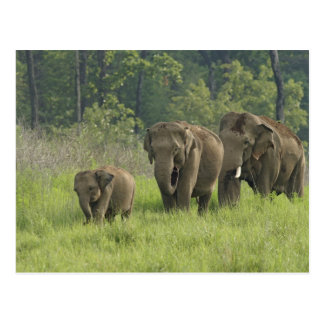 Indian Elephant family coming out of Postcard