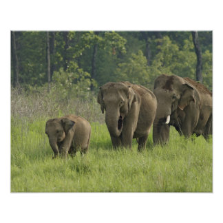 Indian Elephant family coming out of Poster
