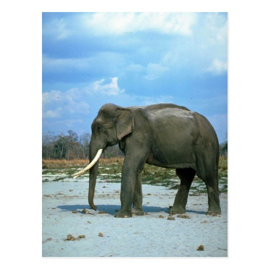 Indian Elephant-huge bull Postcard