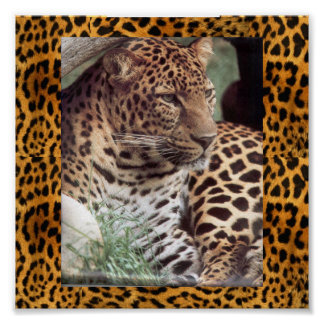 Indian Leopard Poster