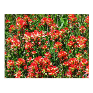 Indian Paintbrush Field Postcard