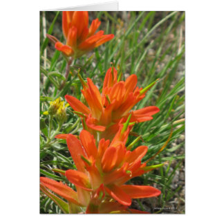 Indian Paintbrush of the Southwest Card