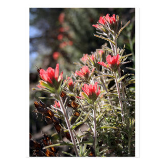 Indian Paintbrush Postcard