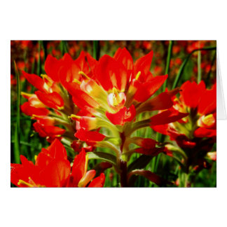 Indian Paintbrush Red Texas Wildflower Blank Card
