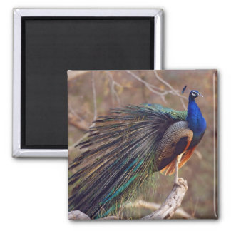 Indian Peacock with partially open feathers, Square Magnet